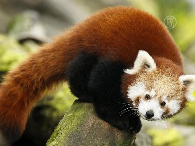 В Нью-Йорке показали детенышей малой панды