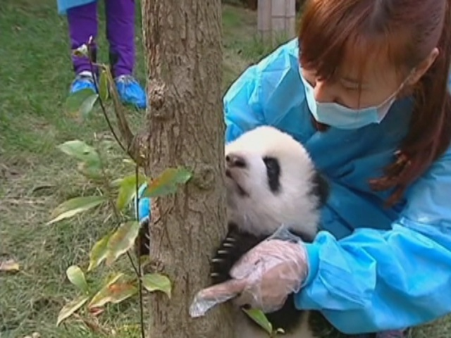 Как панд учили лазить по деревьям