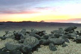 Пляжи Мексики кишат новорожденными черепашками