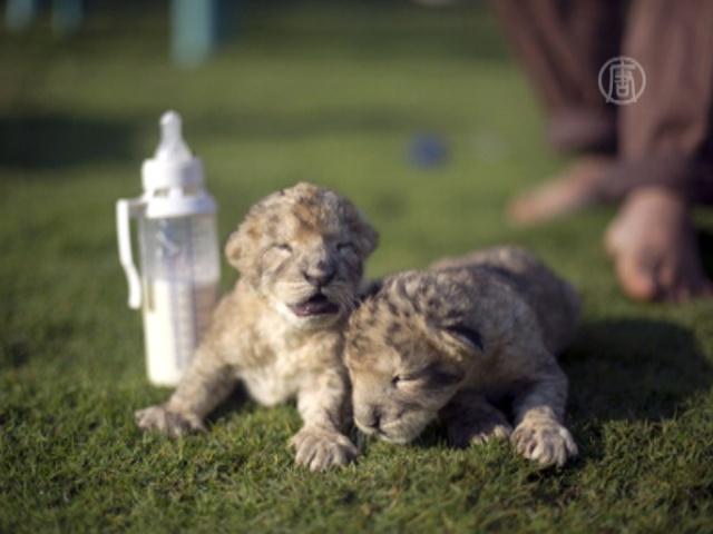 В Секторе Газа родились львята