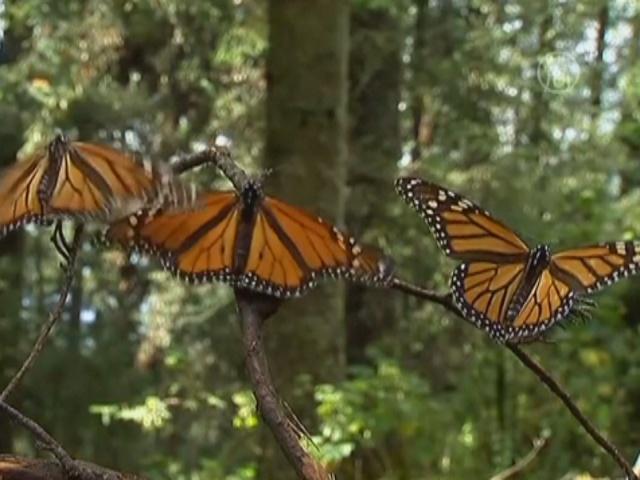 Бабочек-монархов задержала холодная погода