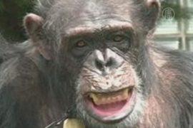 Шимпанзе требуют признать «личностью» и отпустить