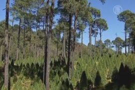 Что такое «зелёная» вырубка сосен на Рождество?
