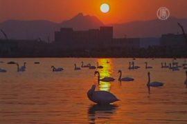 Китай: сотни лебедей и зимняя сказка