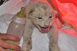 В зоопарке Грузии выхаживают белых львят