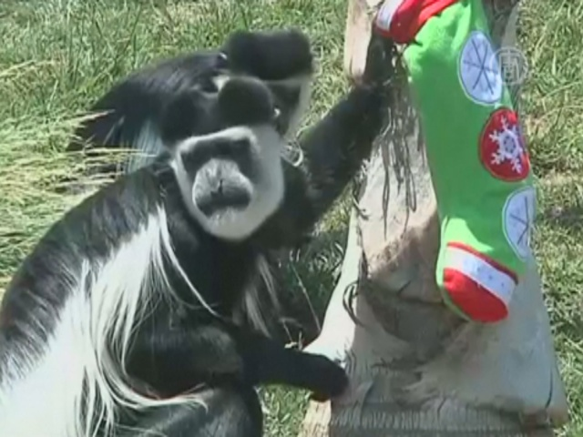 Зверей зоопарка в Чили побаловали перед Рождеством