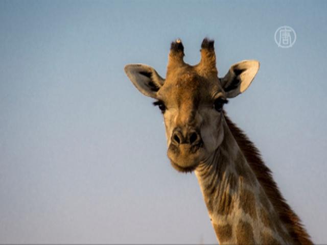 16 жирафов пережили ремонт в парижском зоопарке