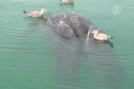 В Мексике нашли мертвых сросшихся детенышей кита