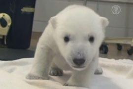 Белый медвежонок в Торонто делает первые шаги