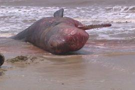 На пляже в Уругвае нашли мёртвого кашалота