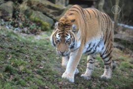 Нападение тигра привело к гибели фермера