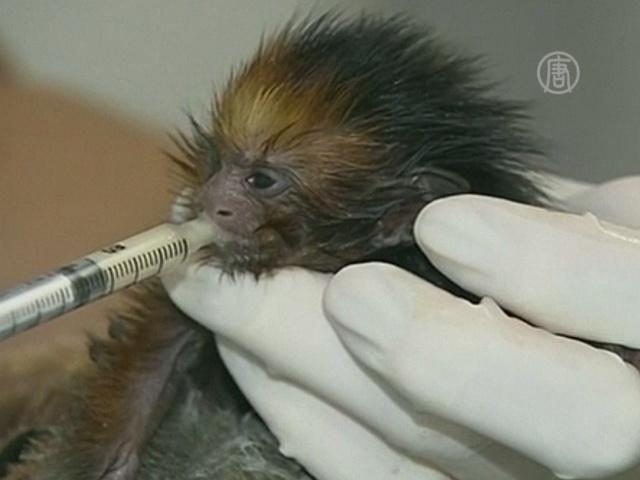 Брошенную обезьянку выкармливают молоком женщины