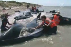 На пляже Новой Зеландии спасли выбросившихся гринд