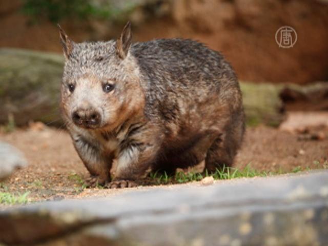 В Австралии старого вомбата избавили от артрита