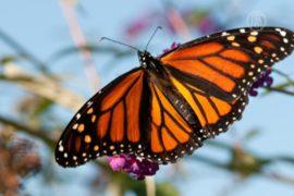 WWF: бабочки-монархи под угрозой исчезновения