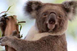 Китайцы хотят отмечать Новый год рядом с коалами