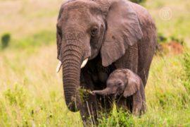 В нацпарках Кении пересчитывают слонов
