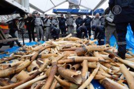 Франция борется с контрабандой слоновой кости