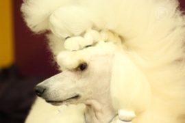 Собаки соперничают на старейшей выставке в США