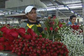 Колумбийские цветоводы радуются ослаблению песо