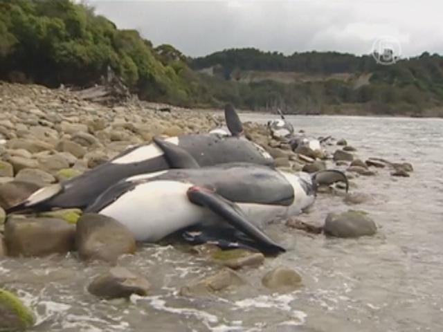 9 косаток погибли в Новой Зеландии