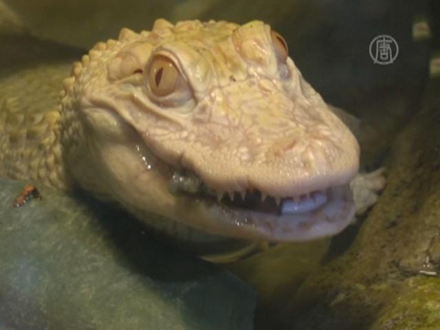 В Парижский аквариум прибыли аллигаторы-альбиносы