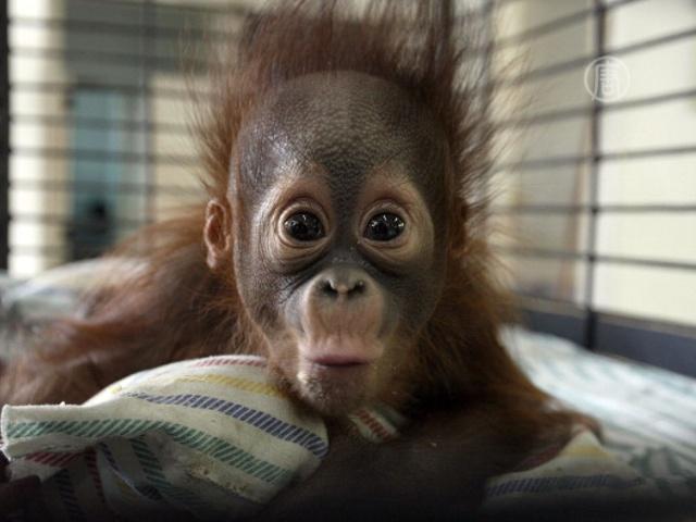 В яванском зоопарке родился редкий орангутан