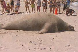 Морской слон развеселил отдыхающих на пляже