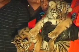Тайская полиция спасла тигрят от контрабандистов