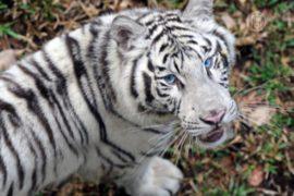 В Буэнос-Айресе будут разводить белых тигров