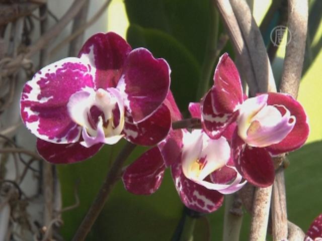 Тысячи орхидей расцвели в Нью-Йоркском ботсаду