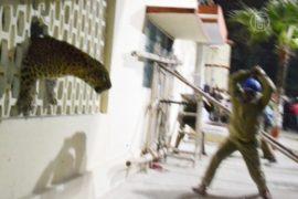 На индийской фабрике поймали леопарда
