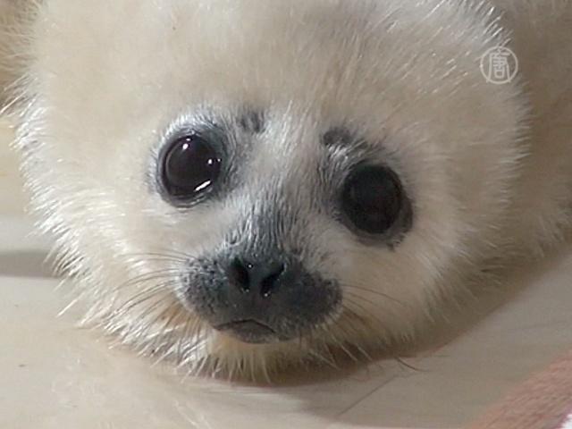 Японцы любуются малюткой-тюленем
