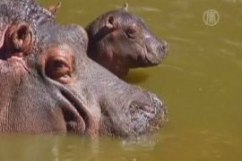 В зоопарке Мехико родился бегемотик