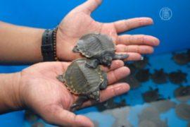 Индийцы выпустили в океан 680 оливковых черепах