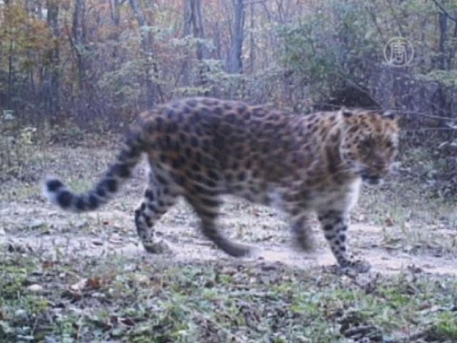 Леопардов сняли на видео китайские пограничники
