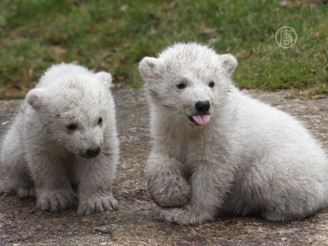 Белые медвежата «выходят в мир» в зоопарке Мюнхена