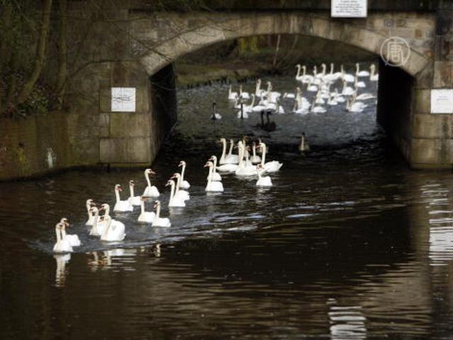 Лебеди в Гамбурге покинули «зимние квартиры»