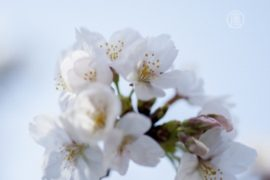 В парках Токио – «аншлаг»: зацвела вишня