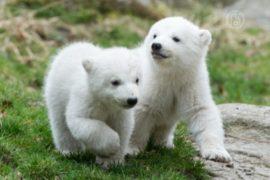 Белые медвежата в Мюнхене, наконец, получили имена