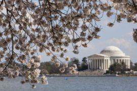 В Вашингтоне цветет столетняя сакура