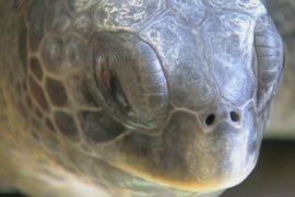 Черепахе-инвалиду сконструировали плавник