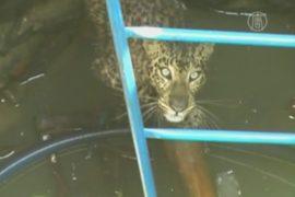 В Индии спасли леопарда, упавшего в колодец