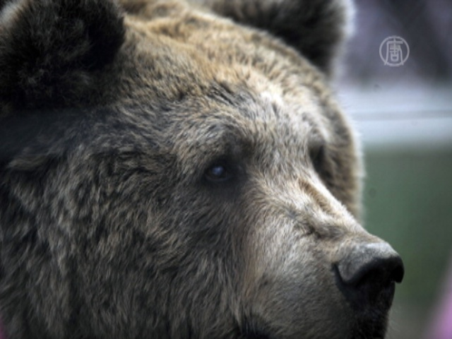 В Китае спасут медведей, у которых извлекали желчь