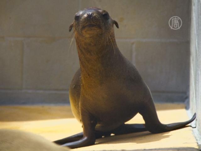 В Калифорнии спасли потерявшегося морского львенка