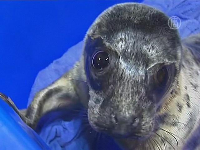 Под Питером спасают тюленей