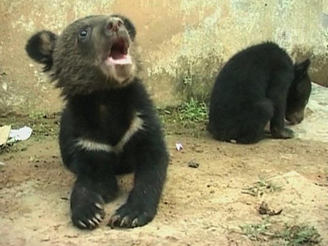В Индии нашли брошенных медвежат