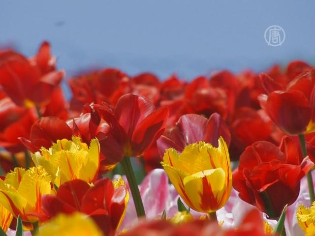 В Киеве проходит выставка тюльпанов