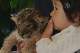 С новорожденными львятами разрешили поиграть