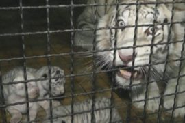 Белая тигрица Юлии Тимошенко родила тигрят